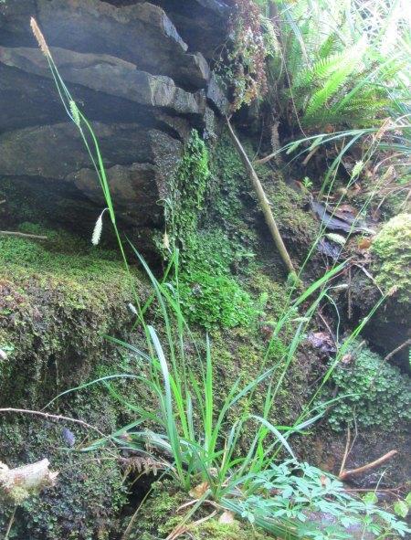 Carex laevigata