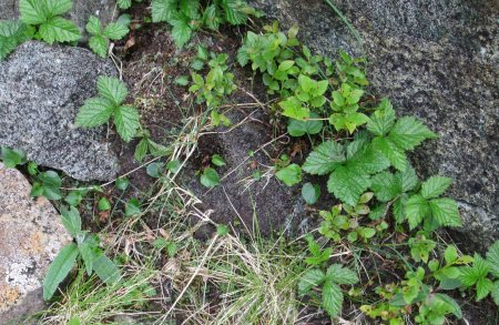Saussurea alpina in bud (lower left) and dwarf Rubus saxatilis