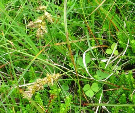 Carex arenaria (and Empetrum nigrum)
