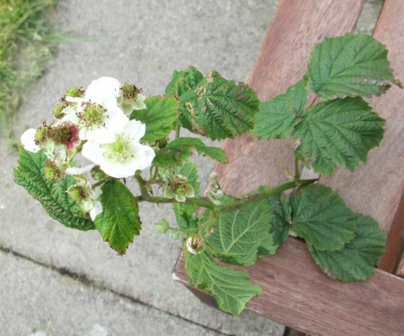 Rubus latifolius infected by Hapalospheria deformans
