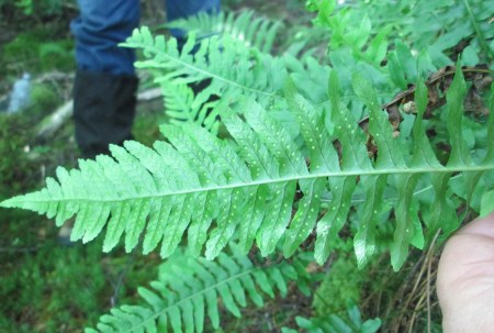 Polypodium x mantoniae