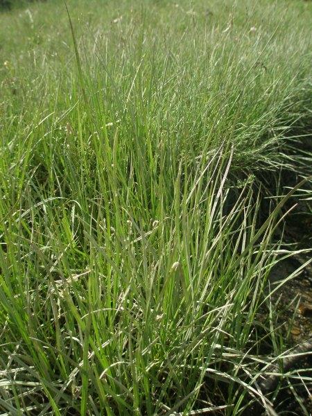 Carex salina