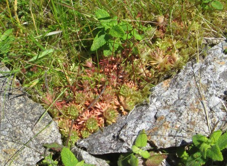 Saxifraga rosacea (maybe)