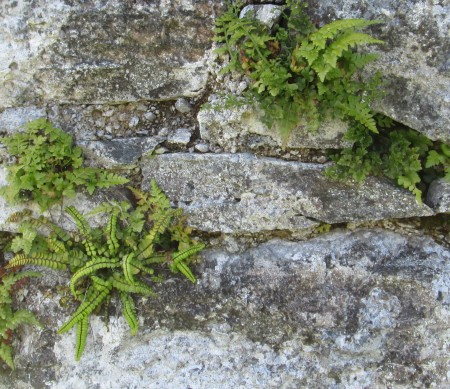 A. adiantum-nigrum, A. ruta-muraria & A. trichomanes subsp. quadrivalens