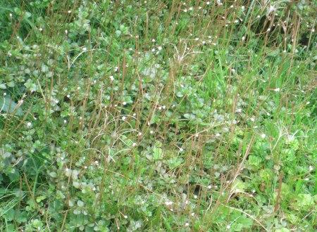Epilobium brunnescens