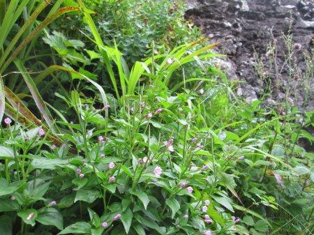 Epilobium alsinifolium