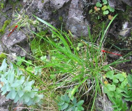 Poa alpina