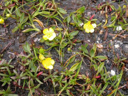 Ranunculus flammula minimus   Photo P. Smith