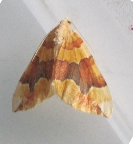 Barred Yellow