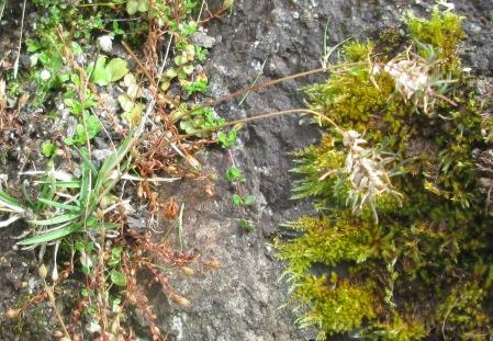 Poa alpina (Alpine Meadow-grass)