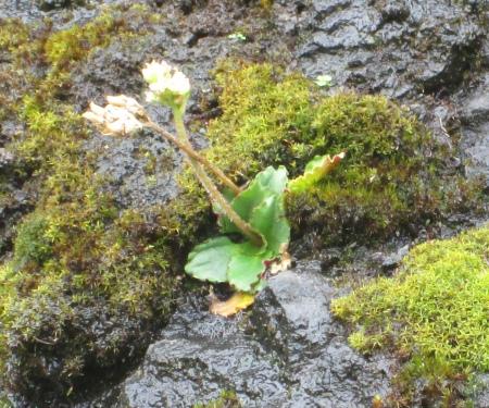 Saxifraga nivalis (Alpine Saxifrage)