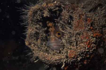 Yarrell's blenny in a scaffold tube below Kylesku Bridge   Photo: G. Brown