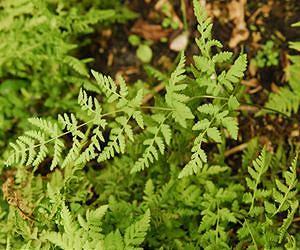 x Cystocarpium roskamianum