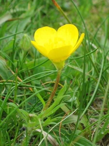 Ranunculus bulbosus        Note reflexed sepals
