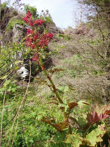 Rheum palmatum Armadale