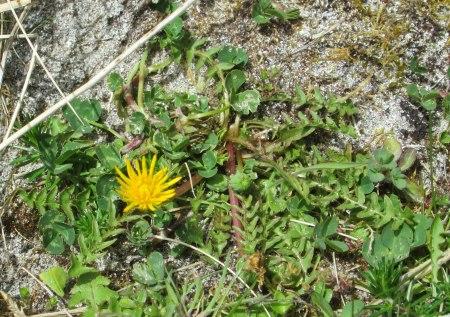 Taraxacum obliquum