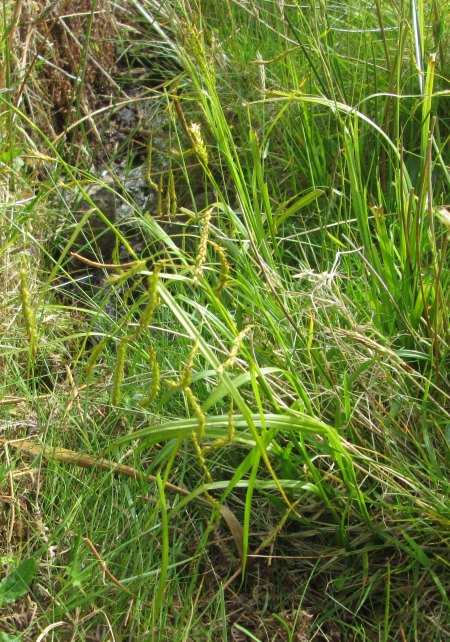 Carex sylvatica Suisnish (2)