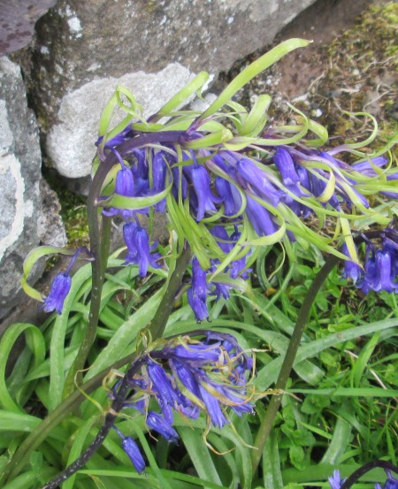 Hyacinthoides monstrous
