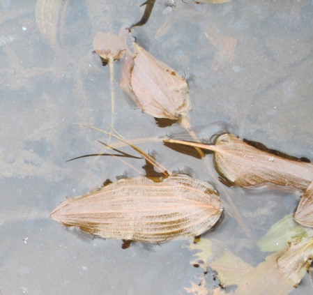 Potamogeton coloratus (1)