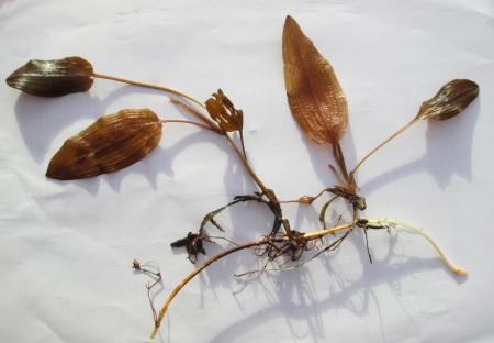 Potamogeton coloratus (2)