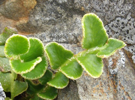 Asplenium ceterach   Photo: S. Terry