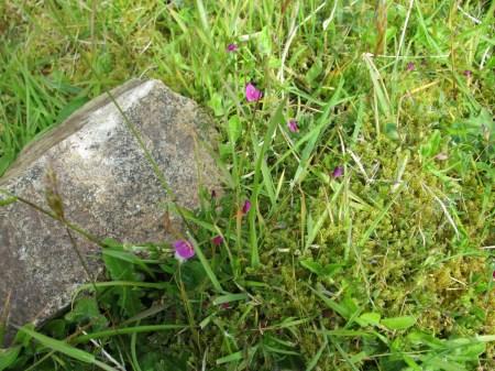 Vicia sativa subsp. nigra Suisnish (1)