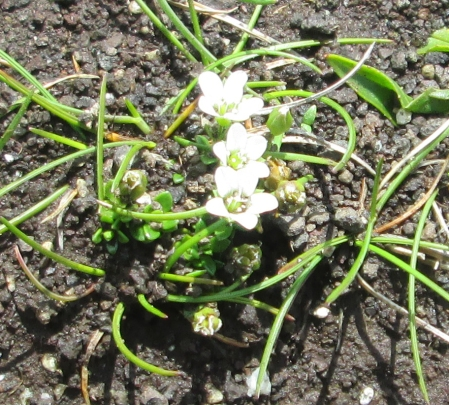 Arenaria norvegica subsp. norvegica