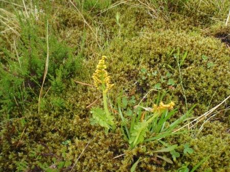 Botrychium lunaria (Moonwort)