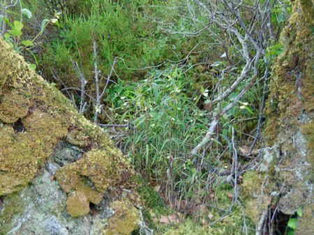Melampyrum as an epiphyte!