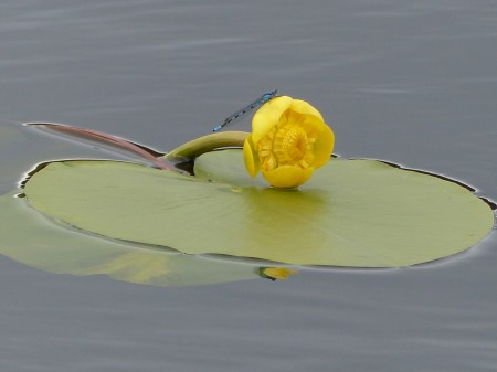 Yellow Water-lily & Damselfly