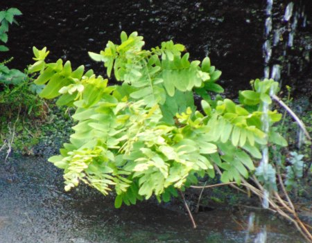 Osmunda regalis on Scalpay
