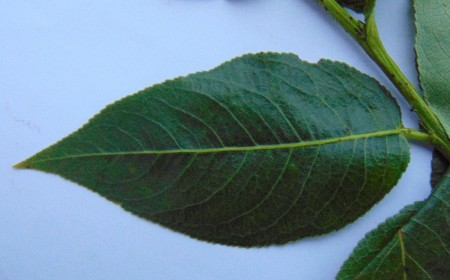 Salix pentandra   Note glossy upper leaf surface and serration