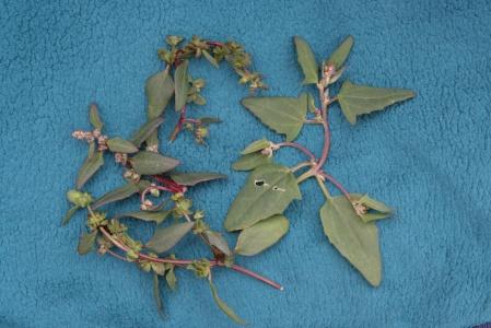 Atriplex x gustafssoniana Note stalked peduncles