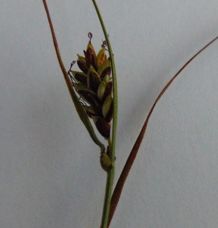 Carex hyb 02