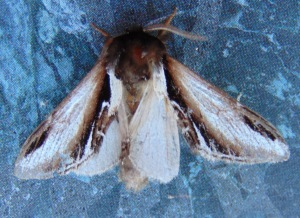 Lesser Swallow Prominent.