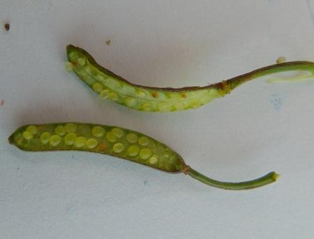 Nasturtium officinale fruits