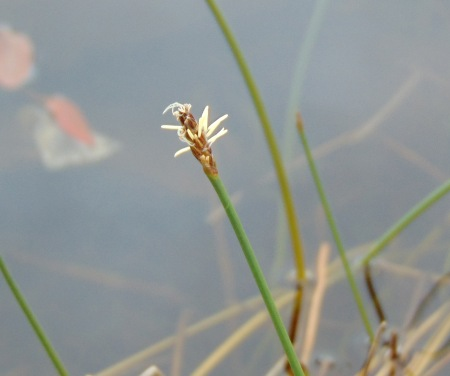 Eleocharis palustris (Common Spike-rush)