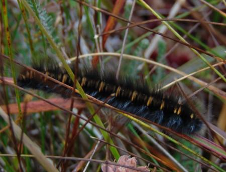 Fox Moth Caterpilar