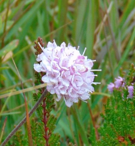 Pink Succisa pratensis