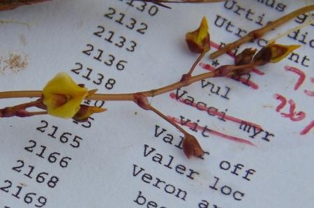Utricularia flowers - 1