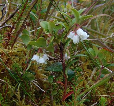Vaccinium vitis-idaea (Cowberry)