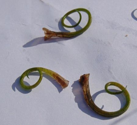 Curly Quillwort