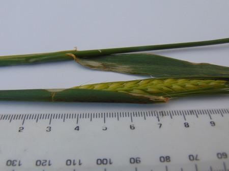 Triticum aestivum (Bread Wheat)