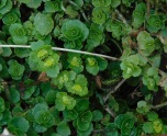 Chrysosplenium oppositifolium (Opposite-leaved Golden Saxifrage)