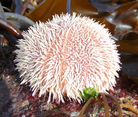 Edible Sea Urchin