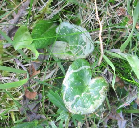Ficaria verna leaf mines Sleat