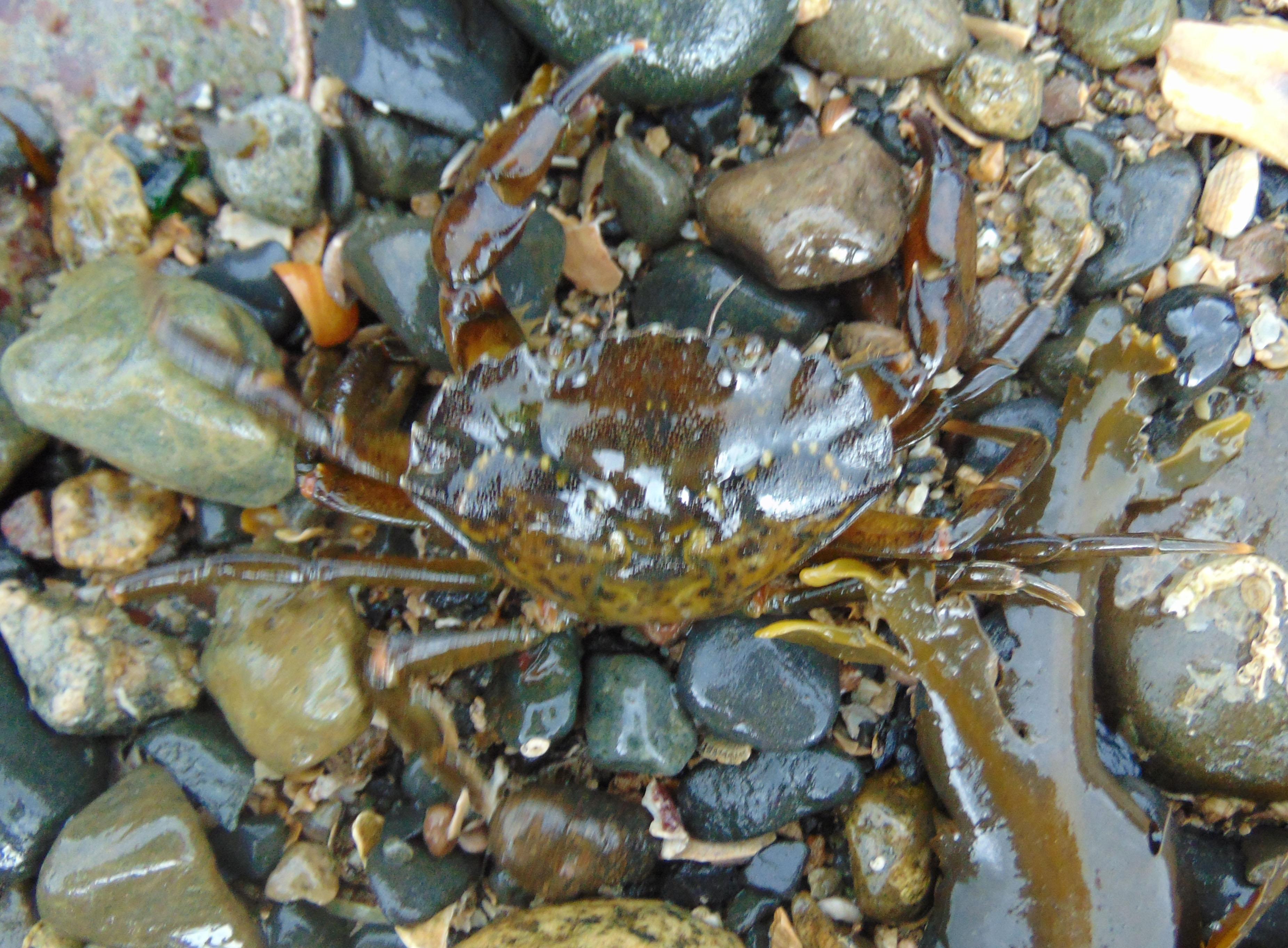 Green Shore Crab