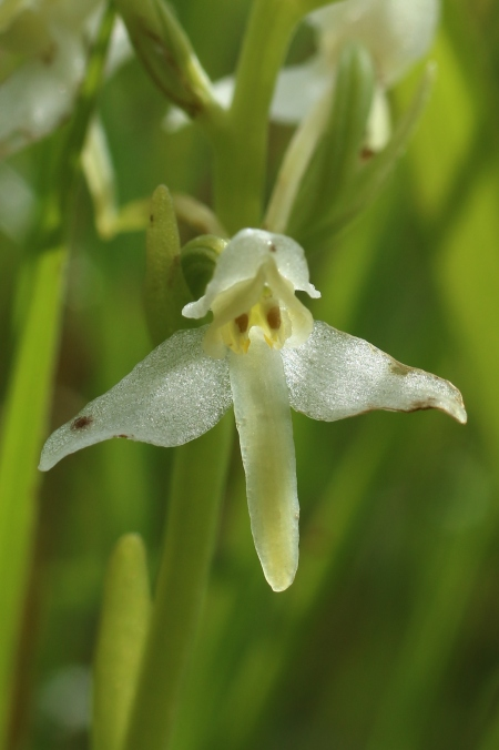 Hybrid Butterfly Orchid