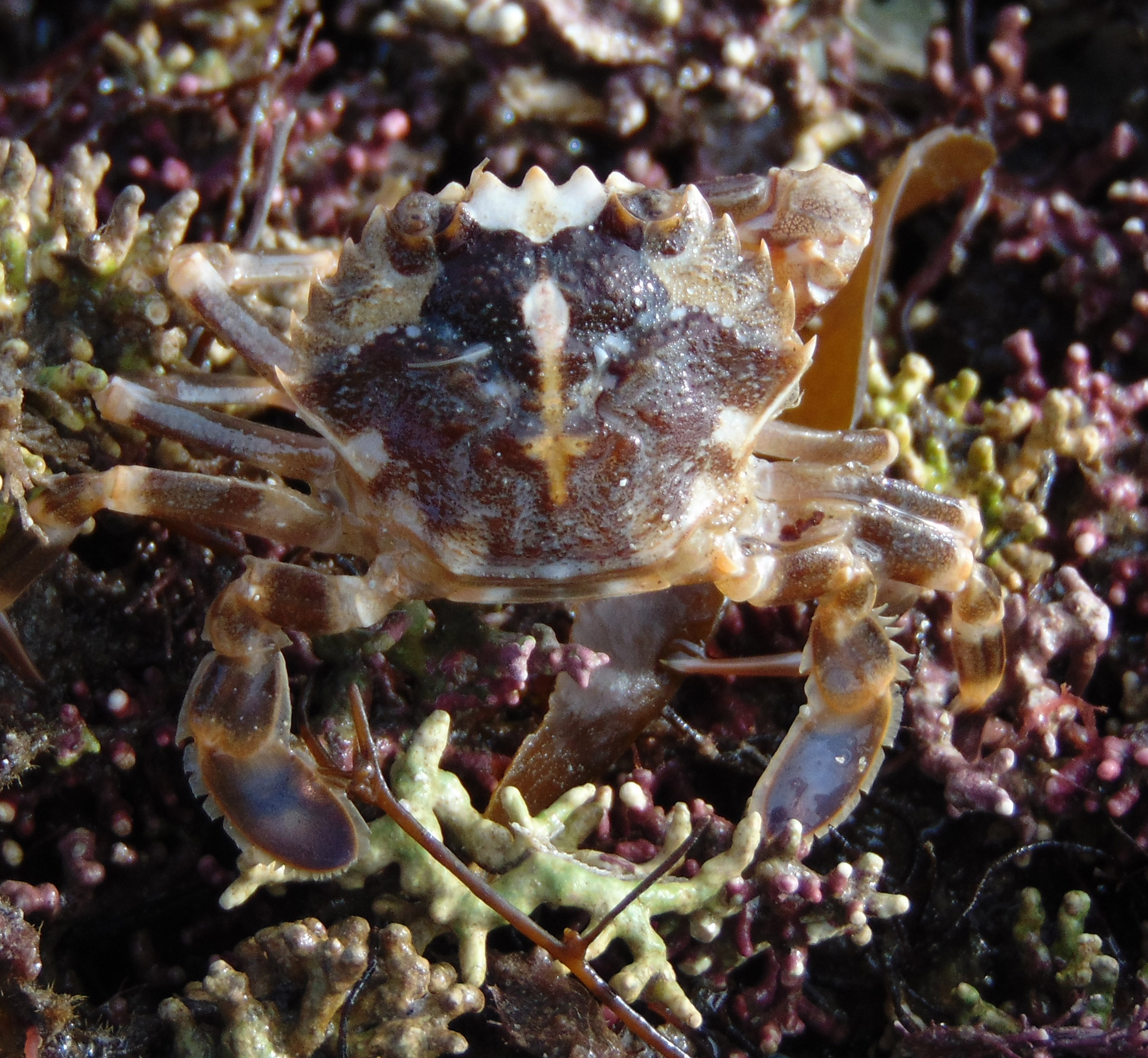 Marbled Swimming Crab.jpg