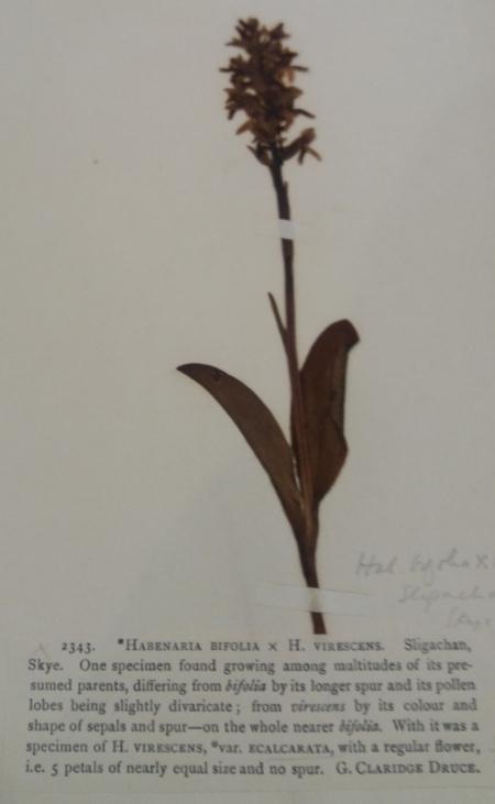 Oxford Herb Plat x hyb